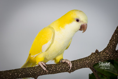Quaker parakeet, lutino morph (captive)