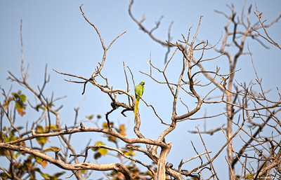 Rose-ringed Parakeet (male)