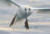 Gannet closeup-1622