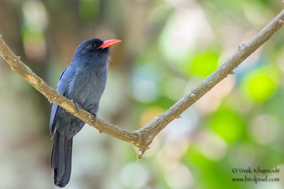 Black-fronted Nunbird - Amazonia Lodge, Nr. Manu National Park, Peru