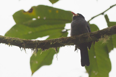 White-fronted Nunbird - Record - Arenal, Costa Rica