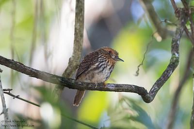 White-whiskered Puffbird - Gamboa, Colon, Panama