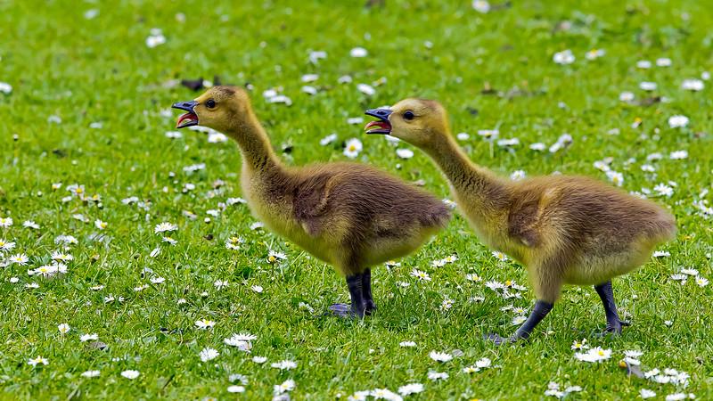 Kanadagås (Branta canadensis) Canada goose
