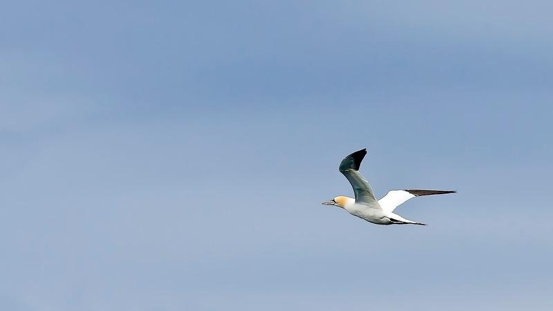 Havssula (Morus bassanus) Northern gannet