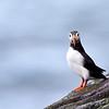 Lunnefågel  (Fratercula arctica)  Atlantic puffin