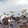 Some of the Northern gannets in the biggest colony in the world including more than 150 000 birds