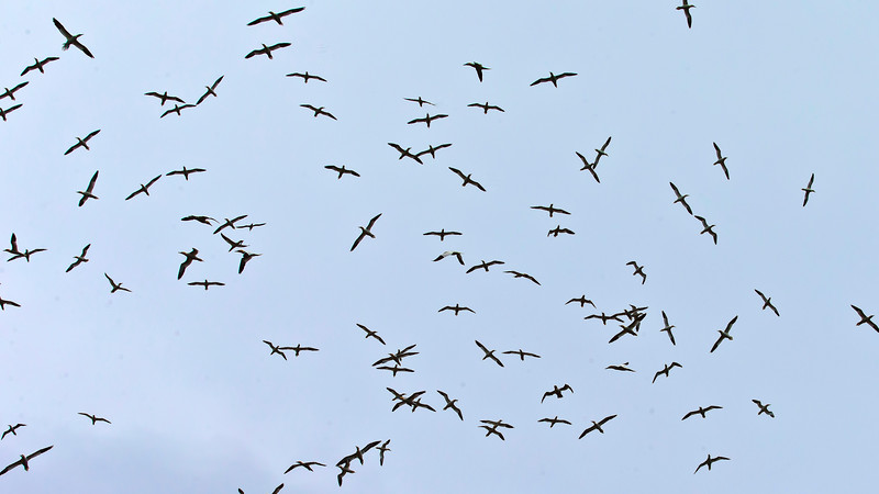 Coming close to the island it's lika a ceiling of birds.