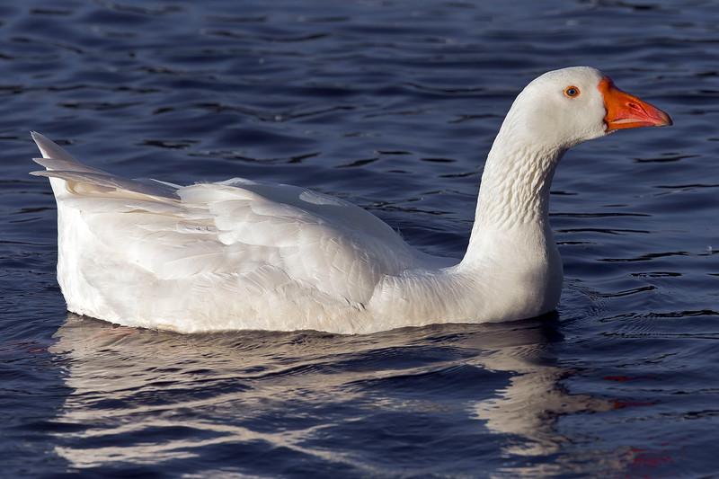 Snögås (Anser caerulescens), Snow goose