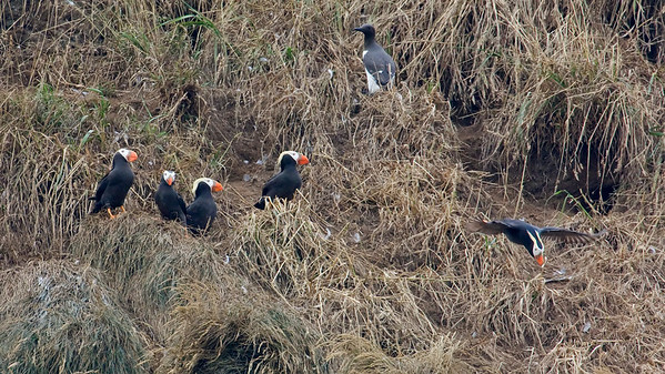 Tufted Puffins and Common Murre