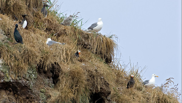 Puffins, Murres, Cormorrant and Gulls on Haystack Rock, Cannon Beach, OR