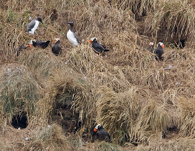 Tufted Puffins and Common Murres sharing common ground
