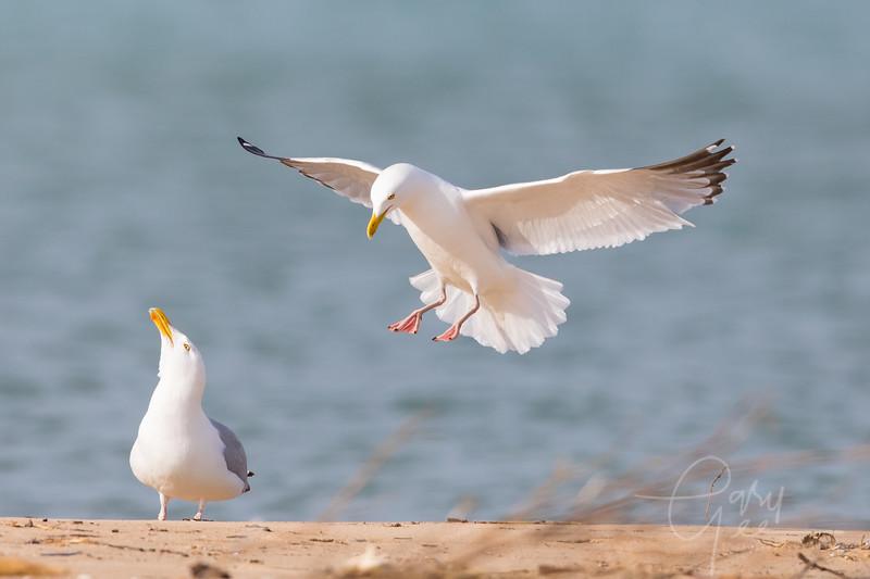 Glaucous Gulls
