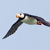 Horned Puffin in Flight 3