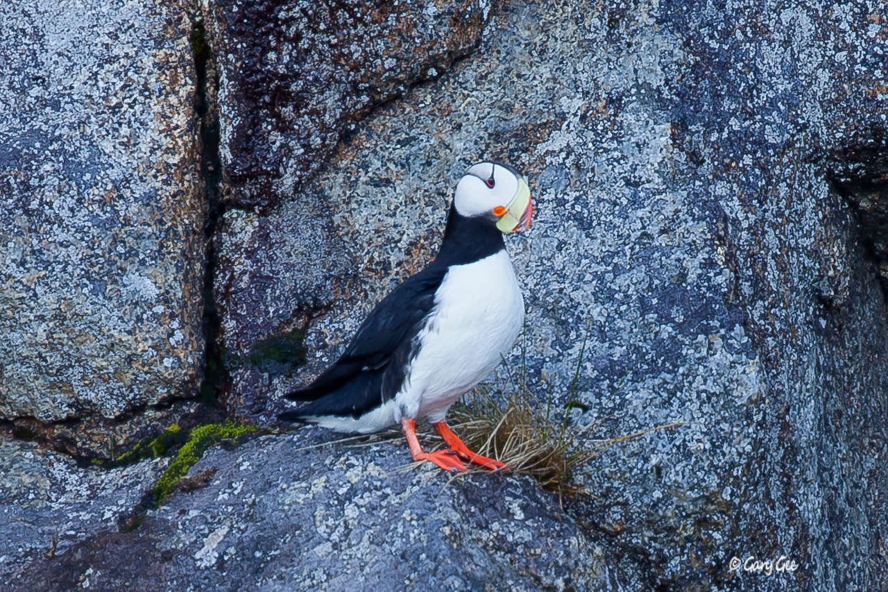 Horned Puffin on cliff side