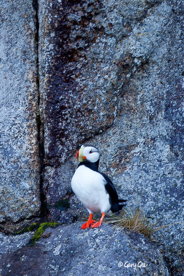Cute Horned Puffin