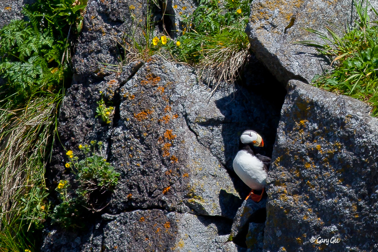 Horned Puffin guarding nest cavity