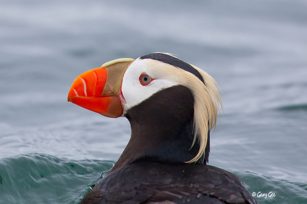 Tufted Puffin close-up