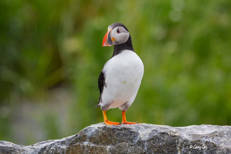 Rainy Day Puffin