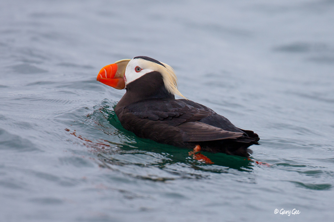 Tufted Puffins are hard to get close to on the water!