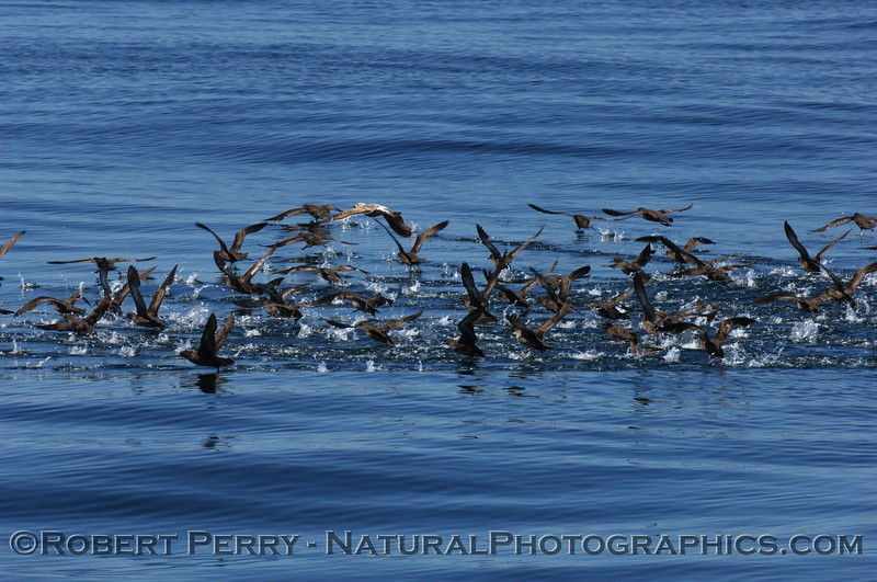 A mass of sooty shearwaters.