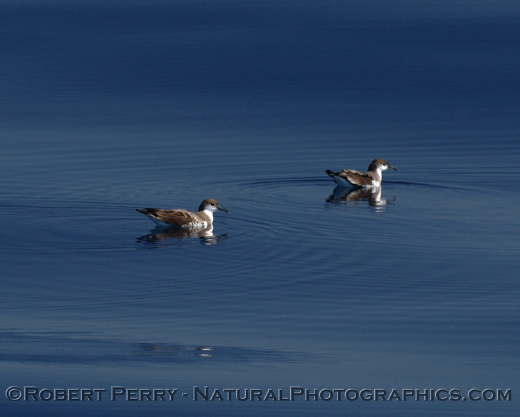 Two Buller's shearwater sitting on a glassy ocean surface.