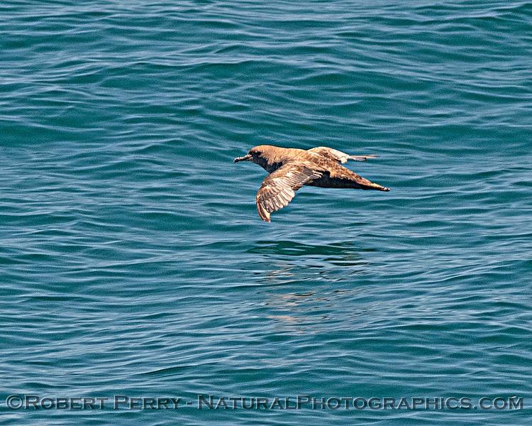 Ardenna grisea Sooty shearwater 2020 06-10 SB Channel--011