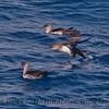 Puffinus opisthomelas flock on water 2014 10-17 SB Channel-002
