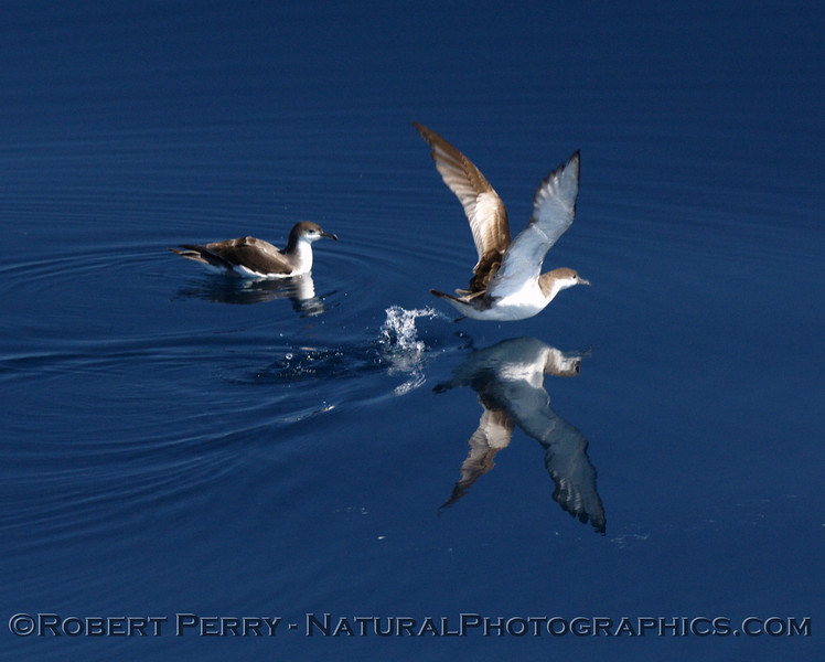 Buller's shearwaters:  one mirror take-off.