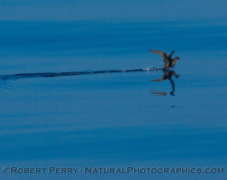 Sooty shearwater takes a run on glassy water.