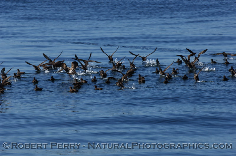 Masses of sooty shearwaters.