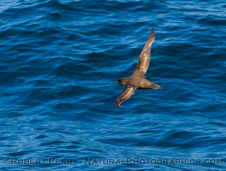 Sooty shearwater banks a turn.