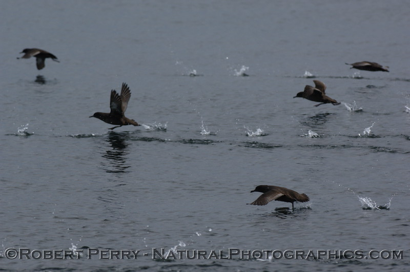Sooty shearwaters running on water.