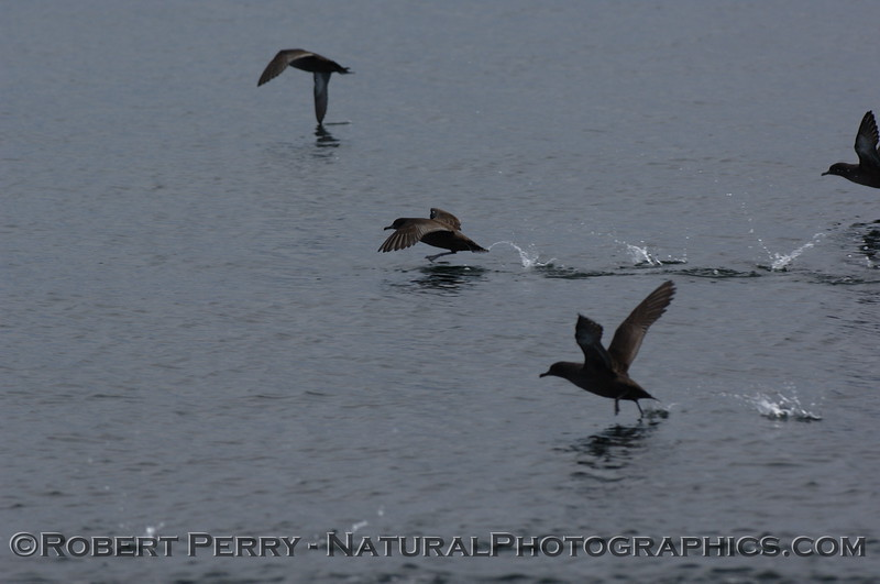 Closer look:  sooty shearwater running on water.