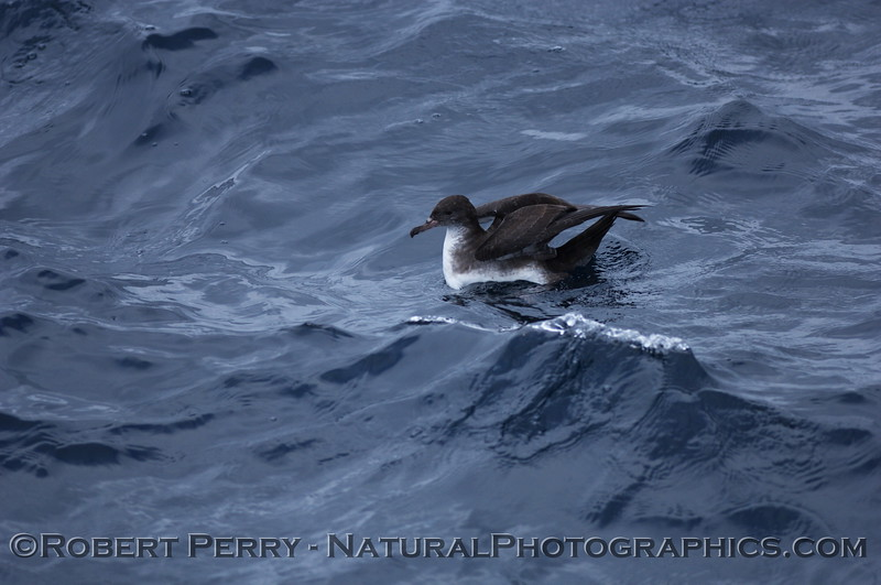 Pink footed shearwater...you can see the tubes on its snout.