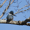 Belted Kingfisher turns a cold shoulder to me just before flying off, as usual.