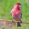 Male Purple Finch. Marion County Missouri.