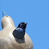 Purple Martin (Male)