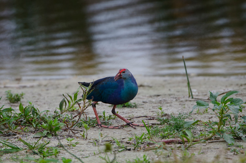 Swamphen, Purple