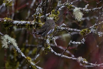 0U2A3028_Pygmy Owl
