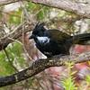 Eastern Whipbird (Psophodes olivaceus)