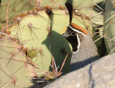 Gambel's Quail and shadow
