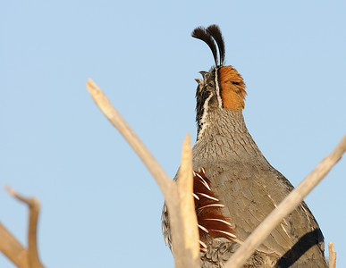 Gambel's Quail (Double top knot)