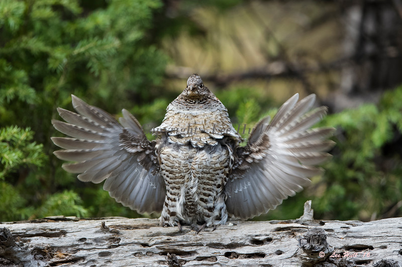 """Ruffed Grouse, Male Doing the Mating """"Drumbeat"""""""
