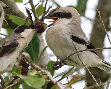 Shrike's Migrant Bird Meal - Quintana 0504