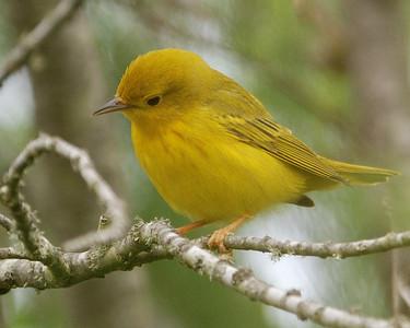 Yellow Warbler - Quintana _0504