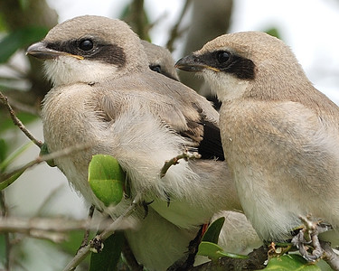 Shrike Chicks - Quintana 0504