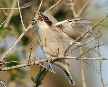 Shrike Chick - Quintana 0503
