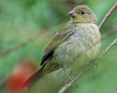 Painted Bunting - female @ Quintana 0504