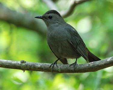 Gray Catbird - Quintana 0504