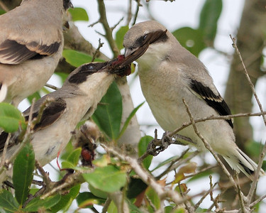 Shrike's Meal - Quintana 0504